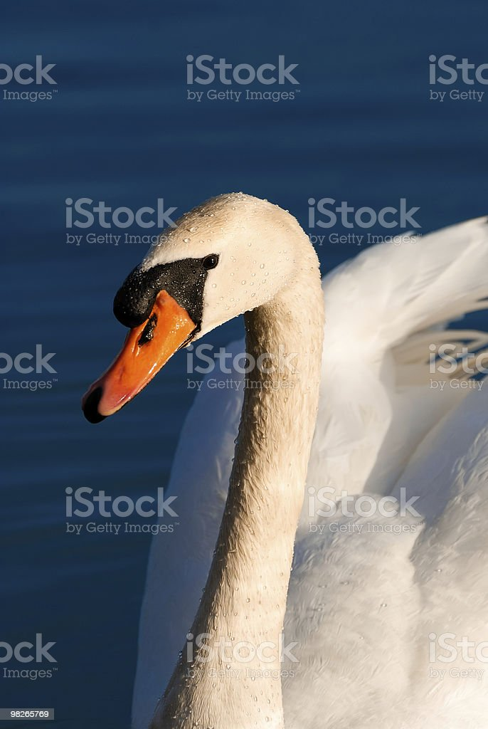 cygne foto stock royalty-free