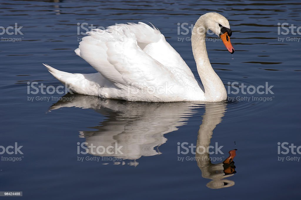 Cigno foto stock royalty-free