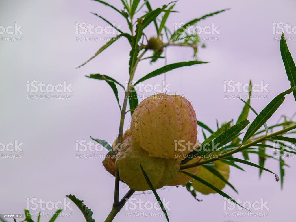 Swan plant, Hairy ball plant in the garden. stock photo