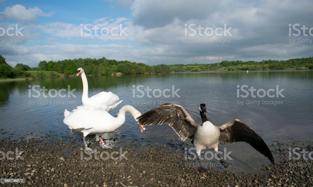 Swan Protecting Its Cygnets royalty-free stock photo