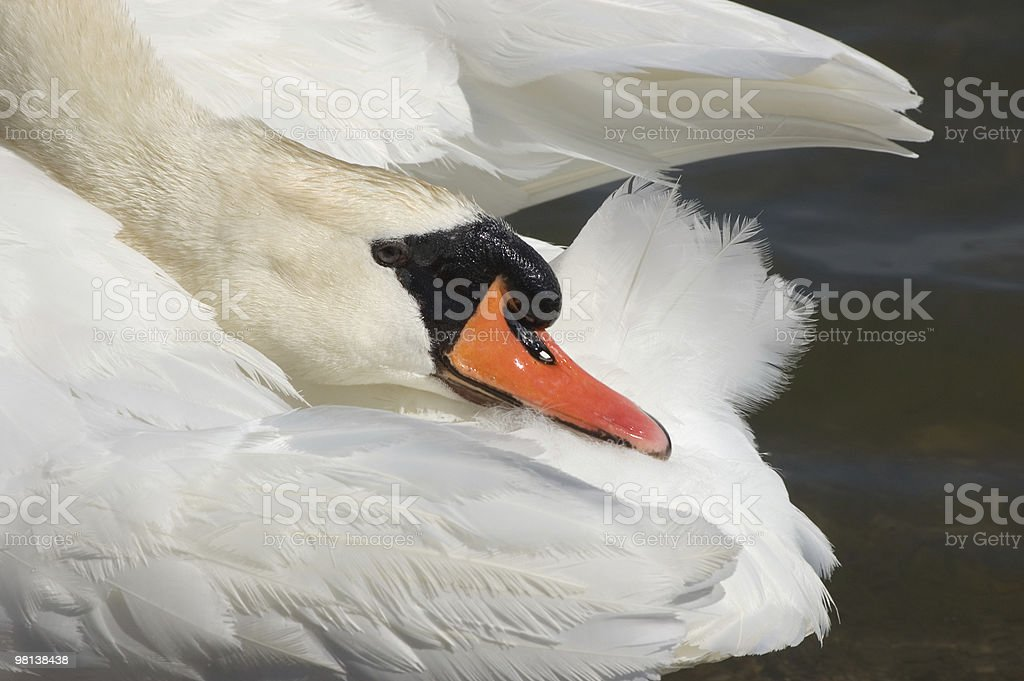 Swan, purity royalty-free stock photo
