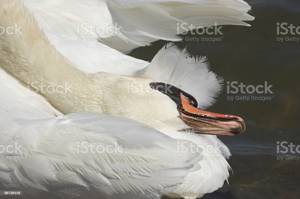 Swan, purity royalty-free stock photo