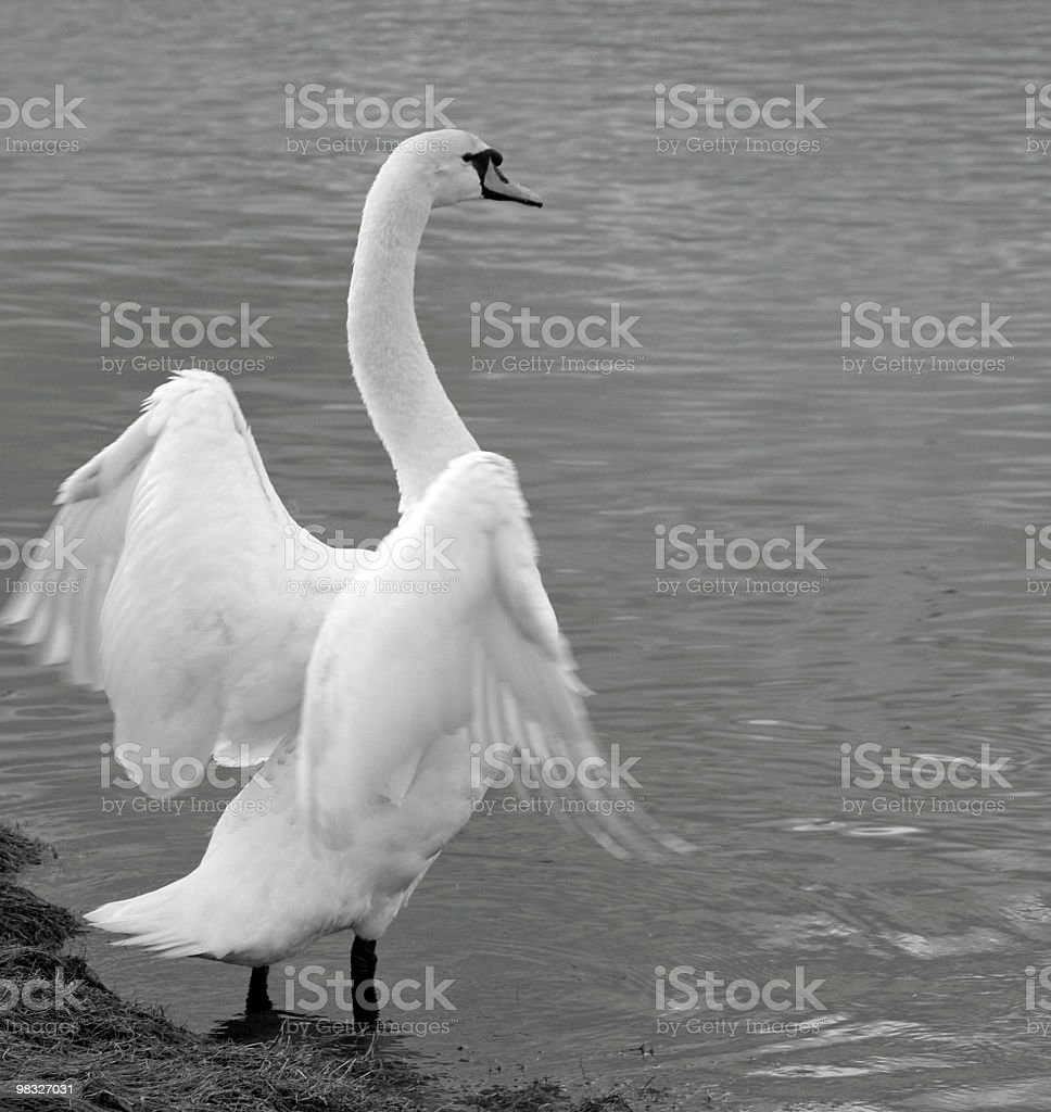 Swan rearing up in black and white royalty-free stock photo