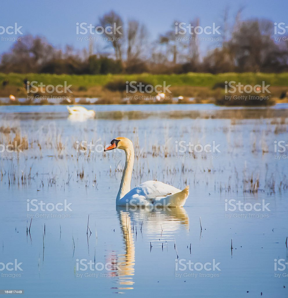 Swan reflection royalty-free stock photo