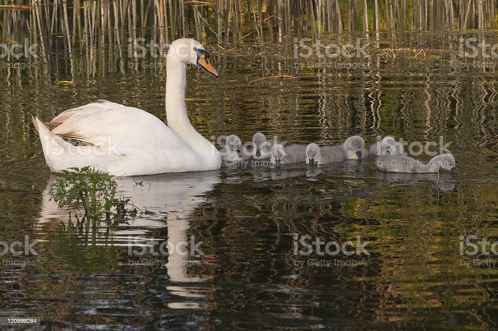 swan reflection with seven cygnets royalty-free stock photo