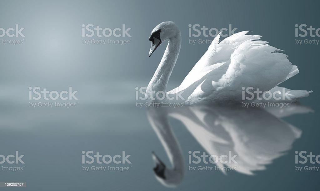Swan reflections stock photo