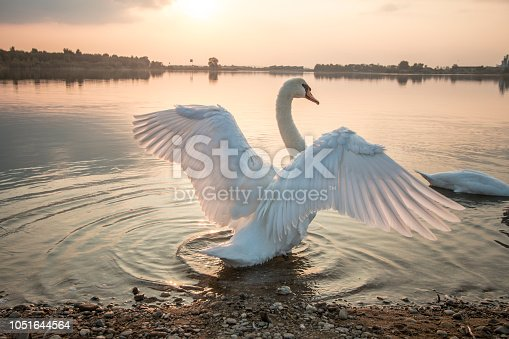 Beautiful swan stretching in the sunset