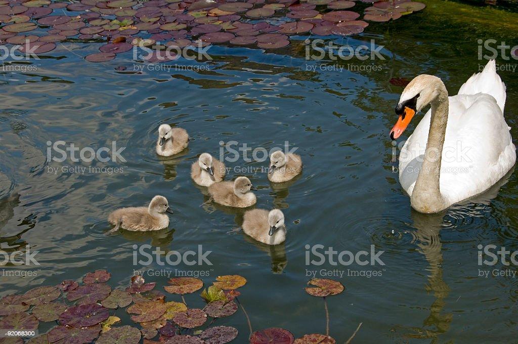 Swan stroll stock photo