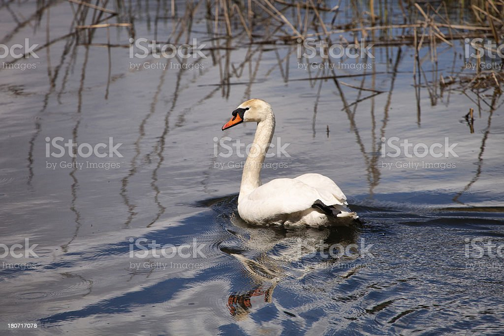 Swan Swimming, Afternoon Sunlight , Swiss Alps, Pond royalty-free stock photo