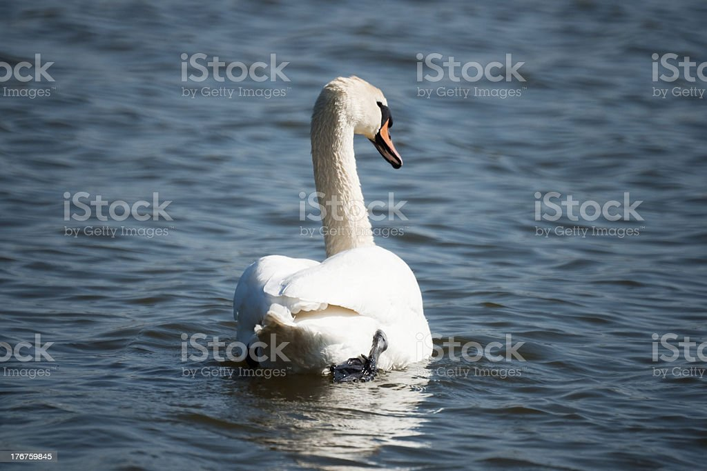 Swan swimming away royalty-free stock photo