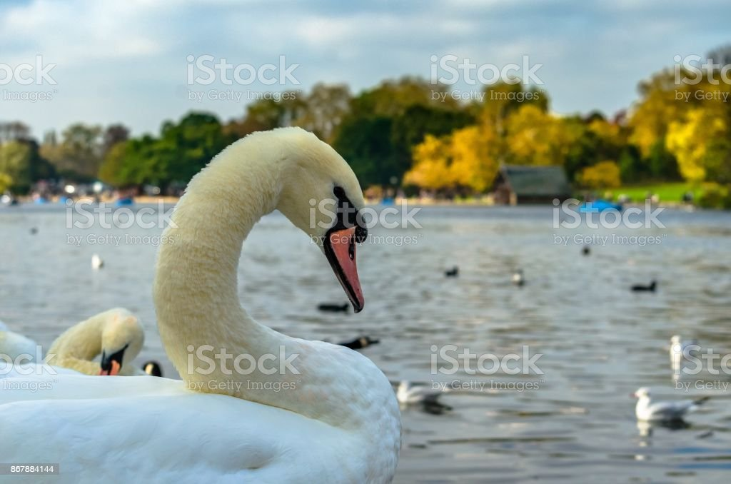 A swan swimming in a river stock photo