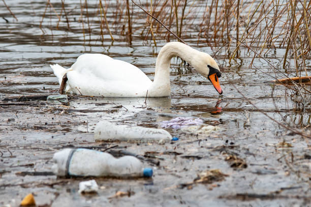 Swan swims in contaminated water with plastic bottles stock photo