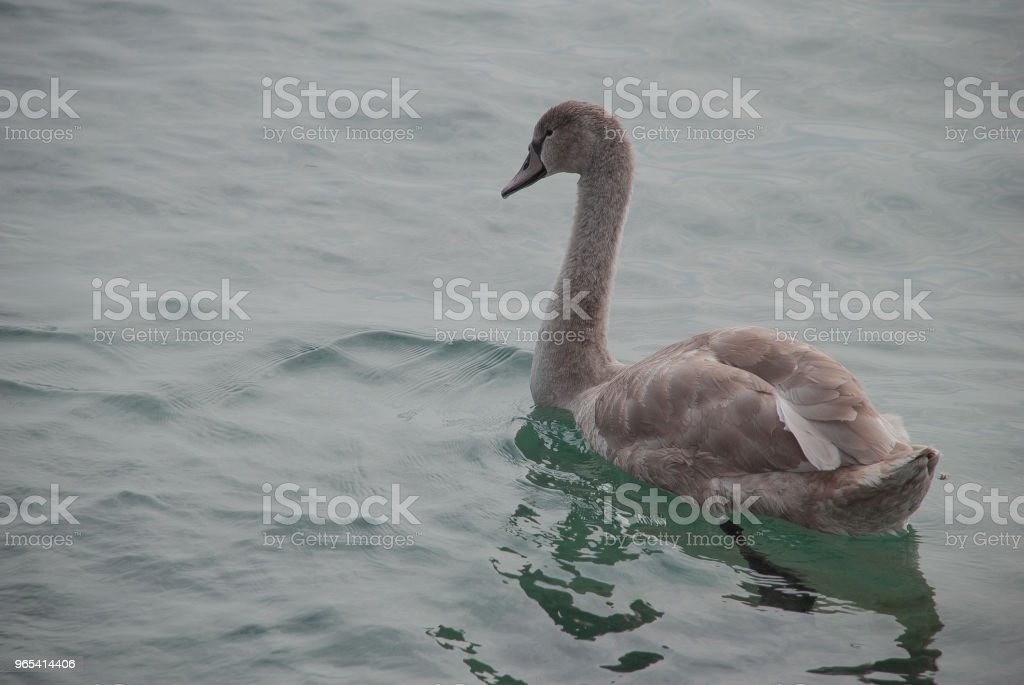 Swan swims on a lake zbiór zdjęć royalty-free