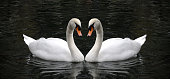 Swan symbol of love. Romantic swan during valentine's day. The couple of swans with their necks form a heart.