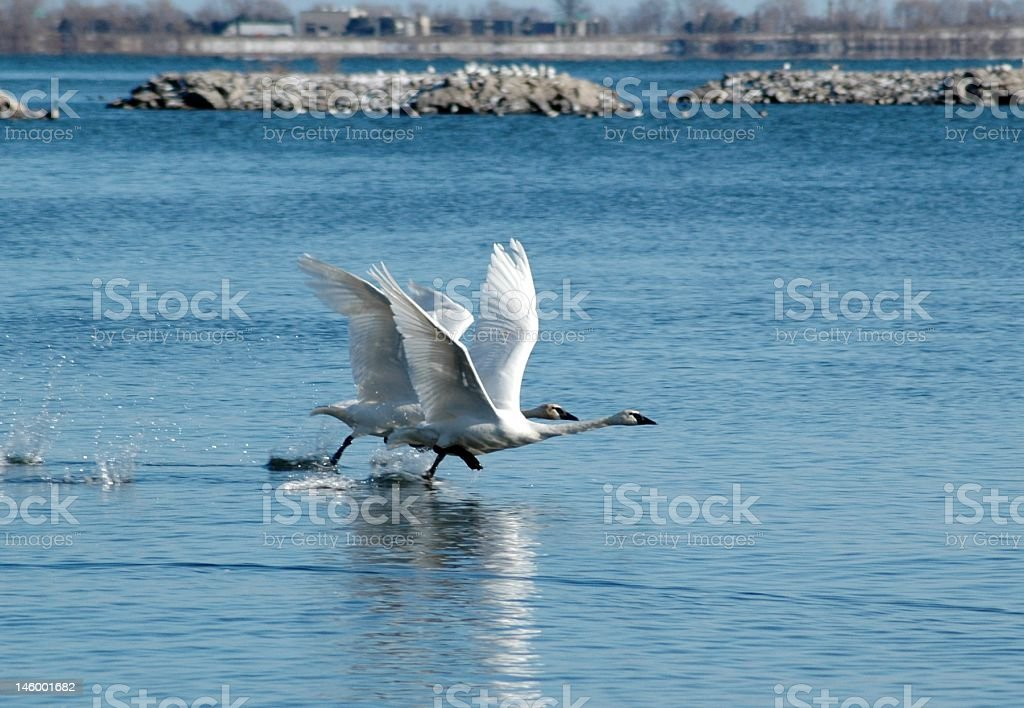 Swan Takeoff royalty-free stock photo