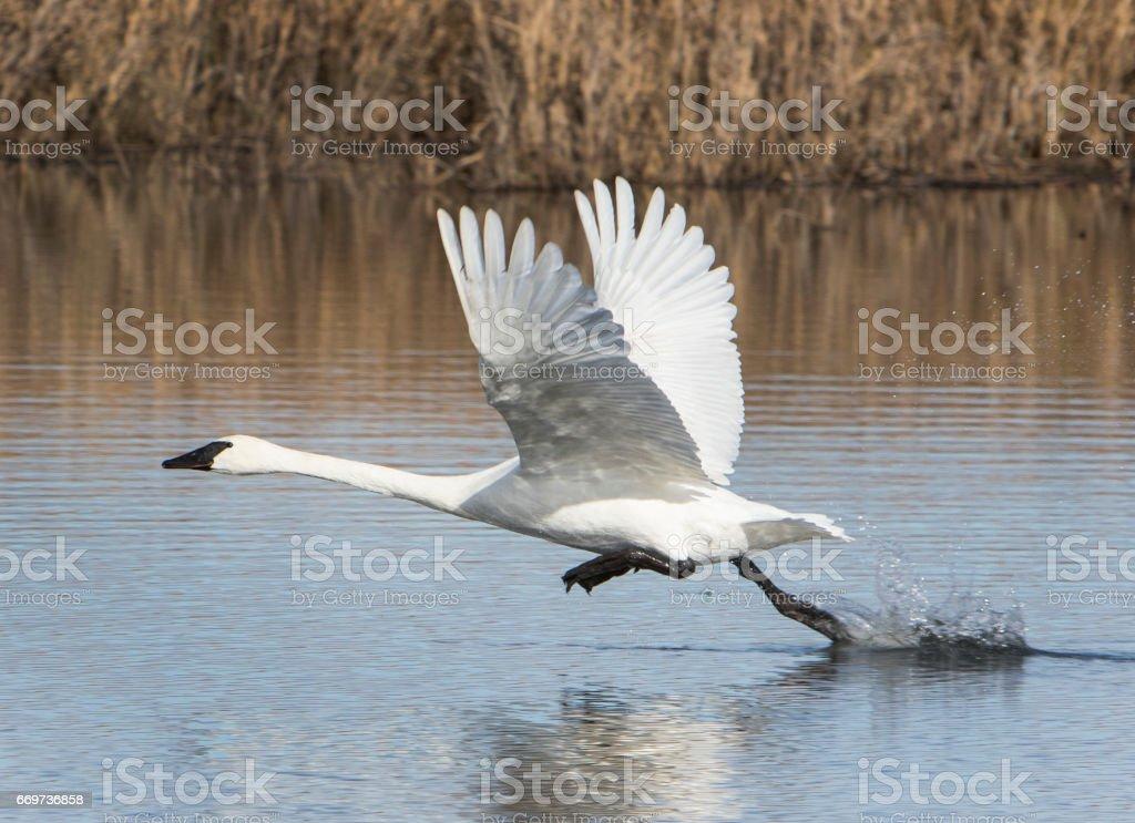 Swan Taking Flight stock photo