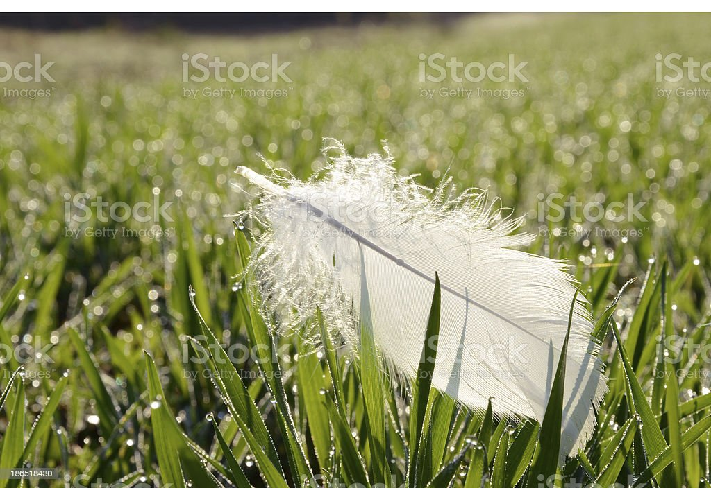 swan white feather in spring grass royalty-free stock photo