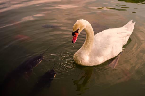 Swan with catfish stock photo