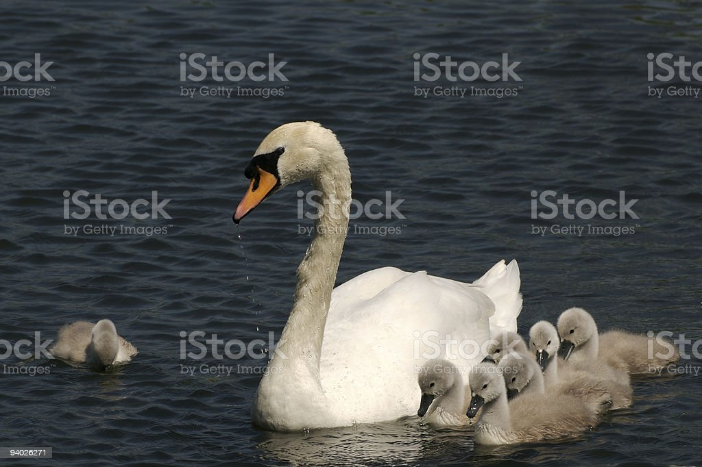 Swan with cygnets swimming, copy space stock photo