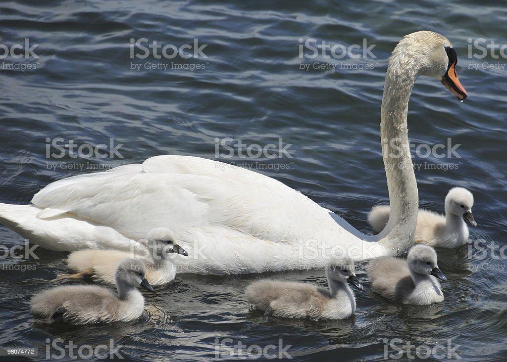 Swan with five cygnets royalty-free stock photo