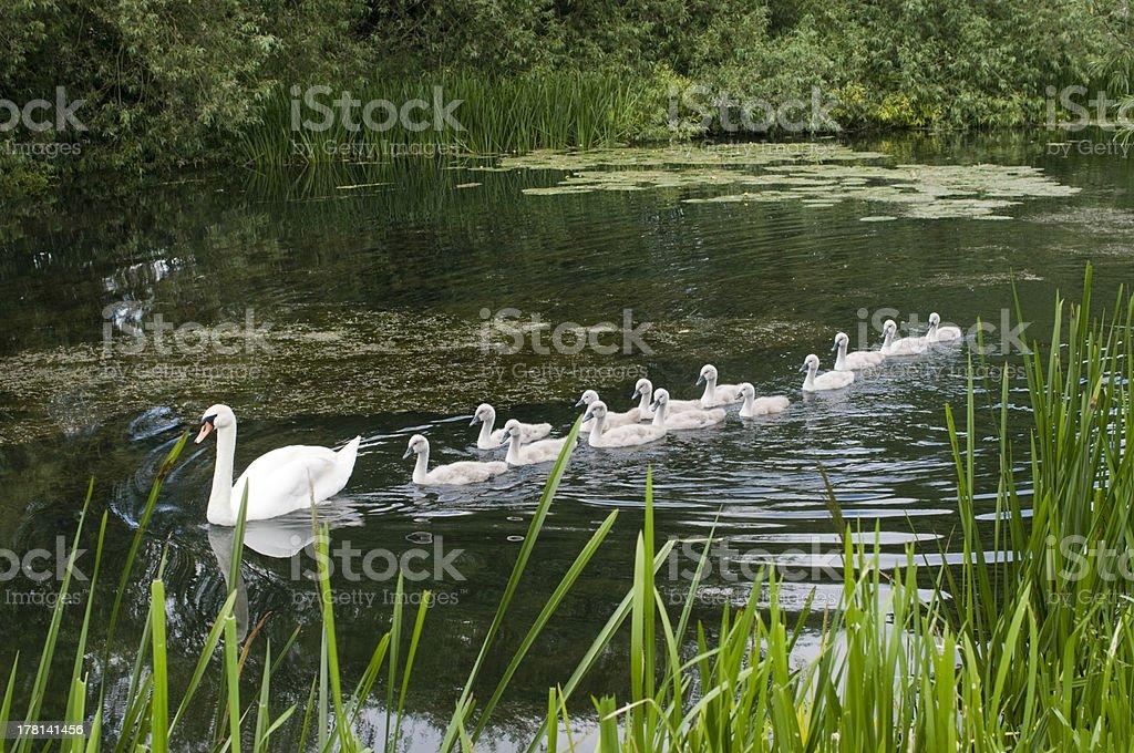 Swan mit ihrem Jungen – Foto