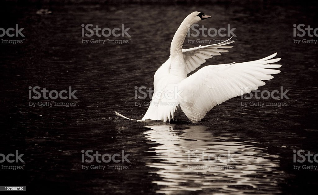 Swan with open wings in a lake royalty-free stock photo