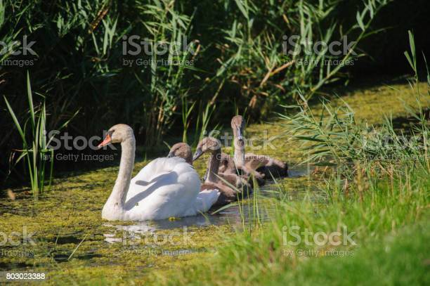 Swan with young swimming picture id803023388?b=1&k=6&m=803023388&s=612x612&h=3fj64mqzagf6abv4fp68fiotbuhmlzw7dw8kumk k8u=