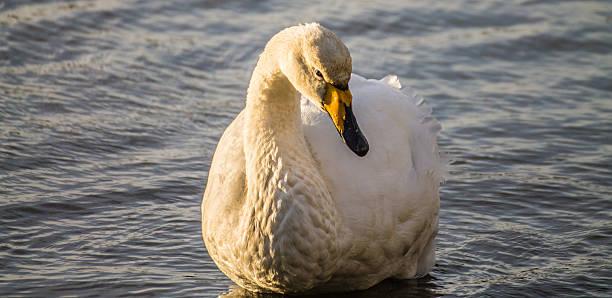 Swan-Lake Tjornin stock photo