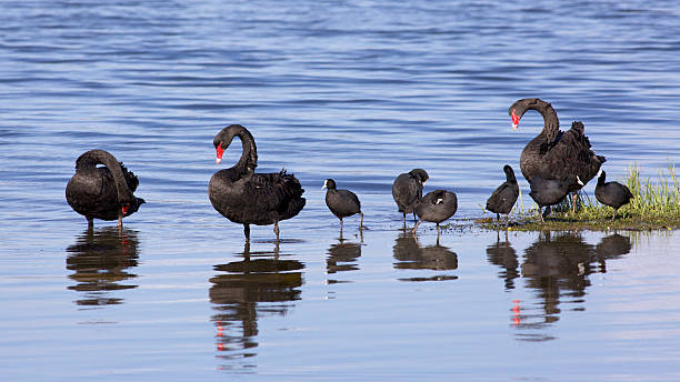 Swans and Coots Black Swans (Cygnus atratus) and Eurasian Coots (Fulica atra) at Lake Monger in Perth, Western Australia. coot stock pictures, royalty-free photos & images