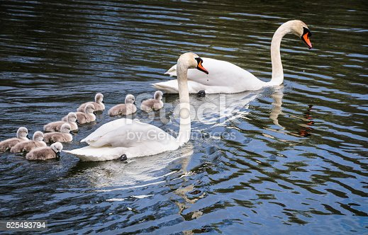 A family of Mute Swans (Cygnus olor) including a large group of newly hatched cygnets swim in a pond in Sandwich, Massachusetts. This large family size of eleven cygnets (nine shown here) is quite unusual.
