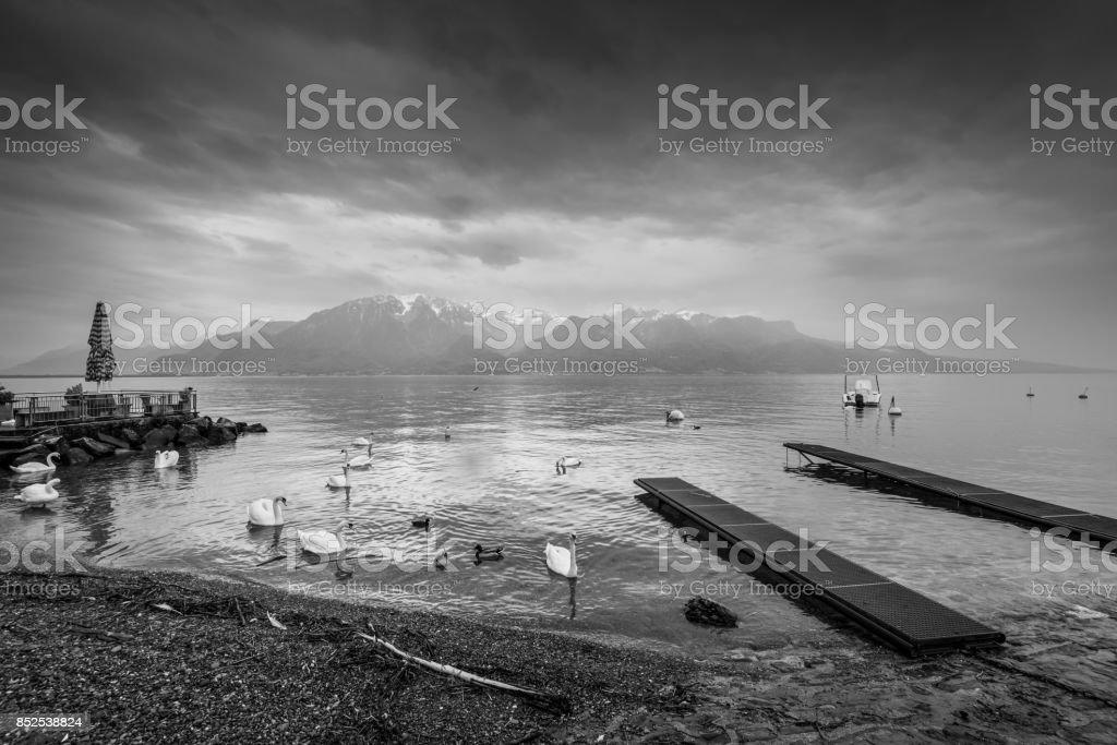 Cygnes et canards sur le lac Léman à Lausanne, Suisse - Photo