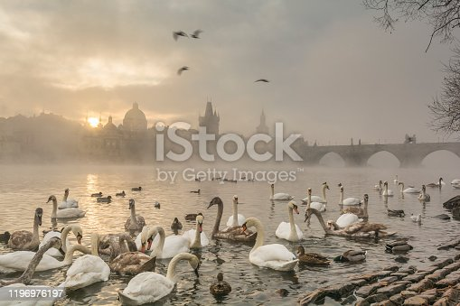 Swans and ducks on the bank of Vltava river and the Charles bridge covered with fog at sunrise. Prague, Czech Republic