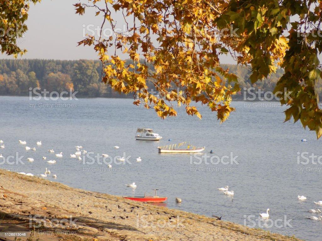 Cisnes e barcos de pesca perto da margem do Rio - foto de acervo