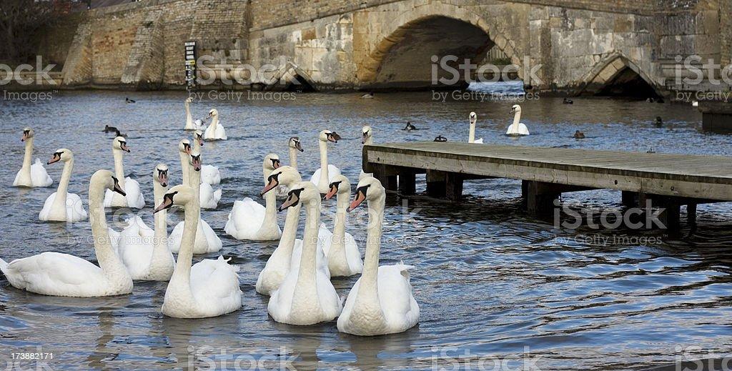 Swans and medieval bridge stock photo