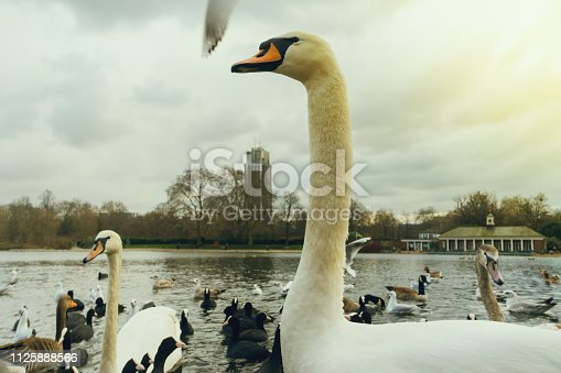 Swans, ducks, seagulls and other birds at Hyde Park lake in London, UK. Horizontal photography from DSLR file in London, United Kingdom, Europe.