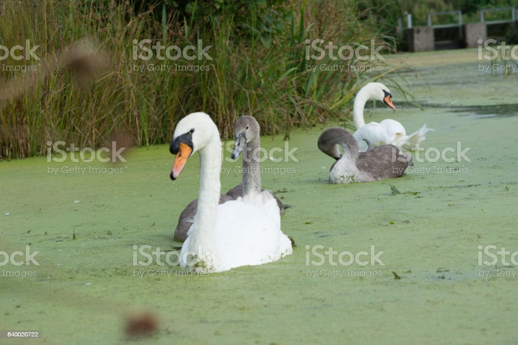 Swans and signets swimming in algae stock photo