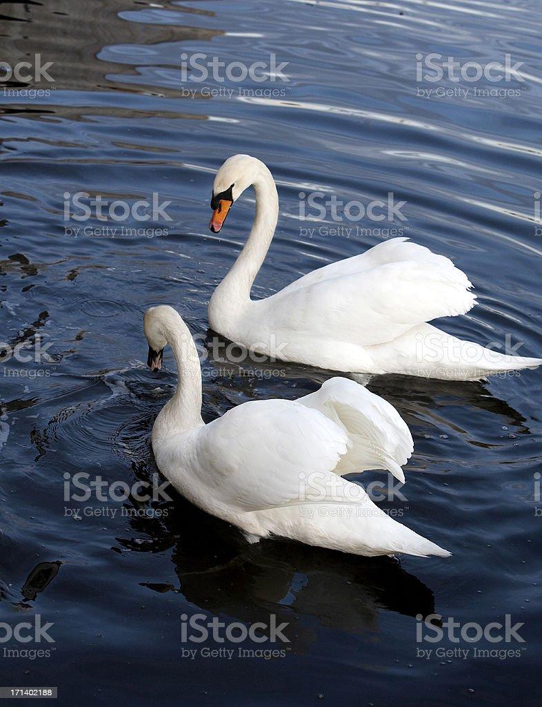 Swans at a quiet lake royalty-free stock photo