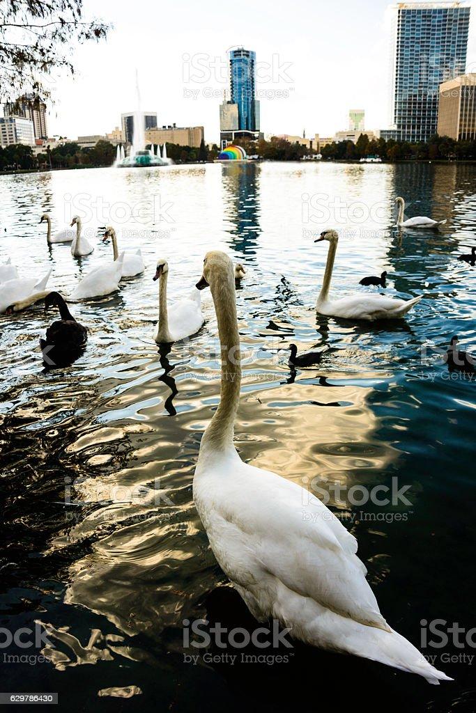 Swans at Lake Eola stock photo