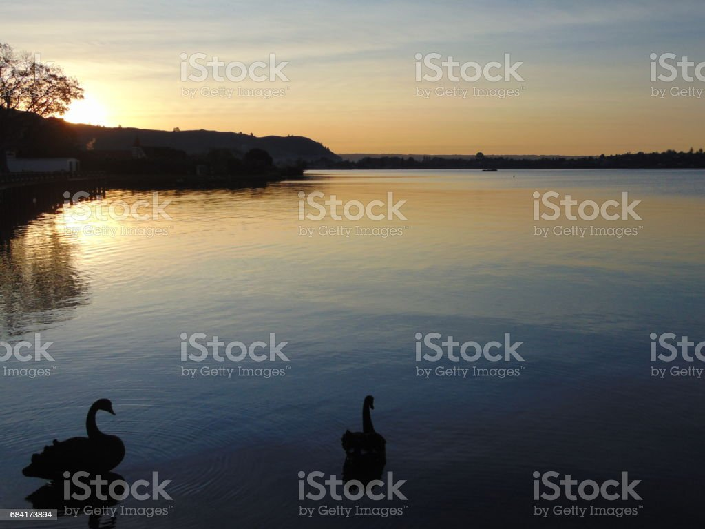 Cygnes au coucher de soleil royalty-free stock photo