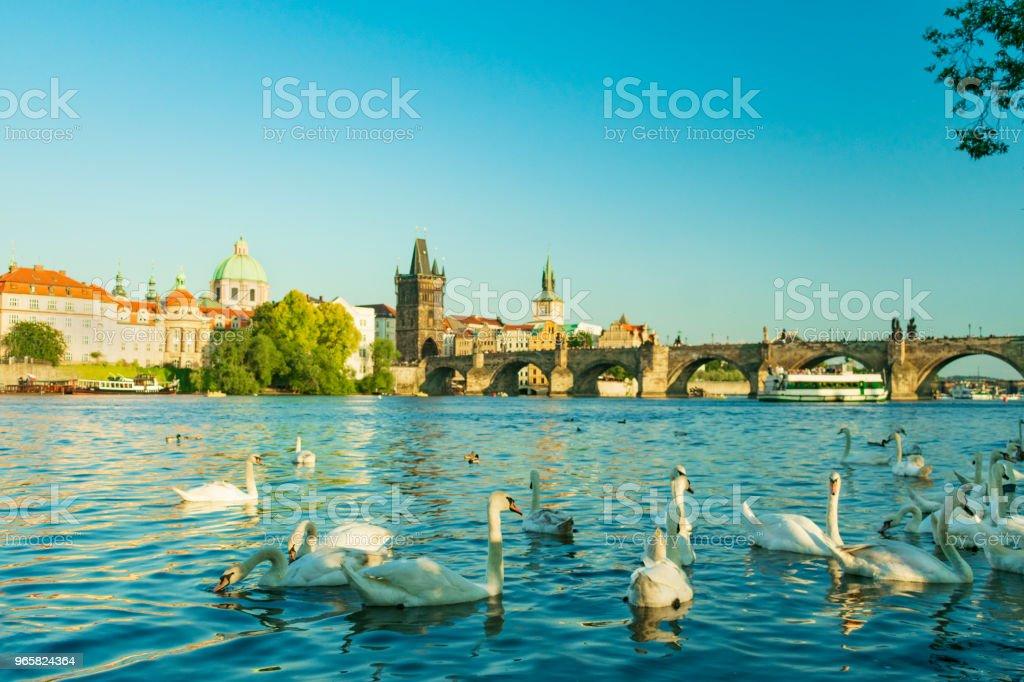 Swans at the Charles Bridge in Prague - Royalty-free Animal Stock Photo