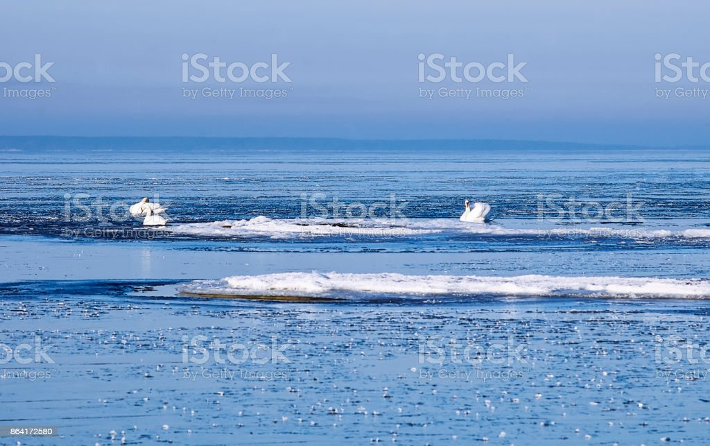 Swans between ice floes in the winter royalty-free stock photo
