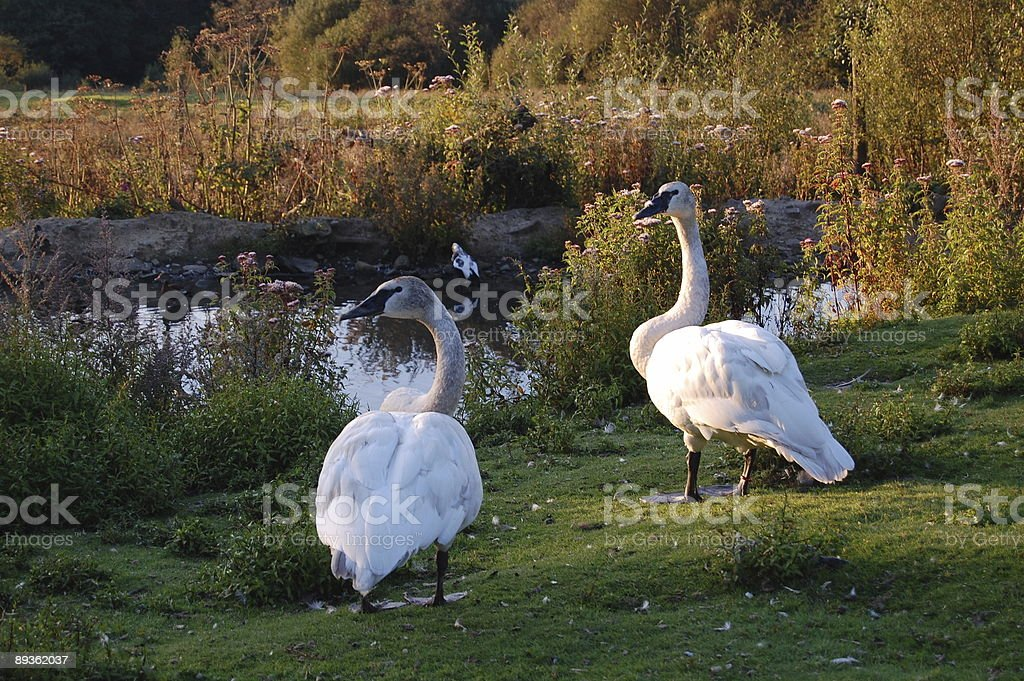 Swans by pond at sunset royaltyfri bildbanksbilder