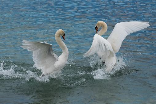 Swans dance, Lake Geneva, Switzerland