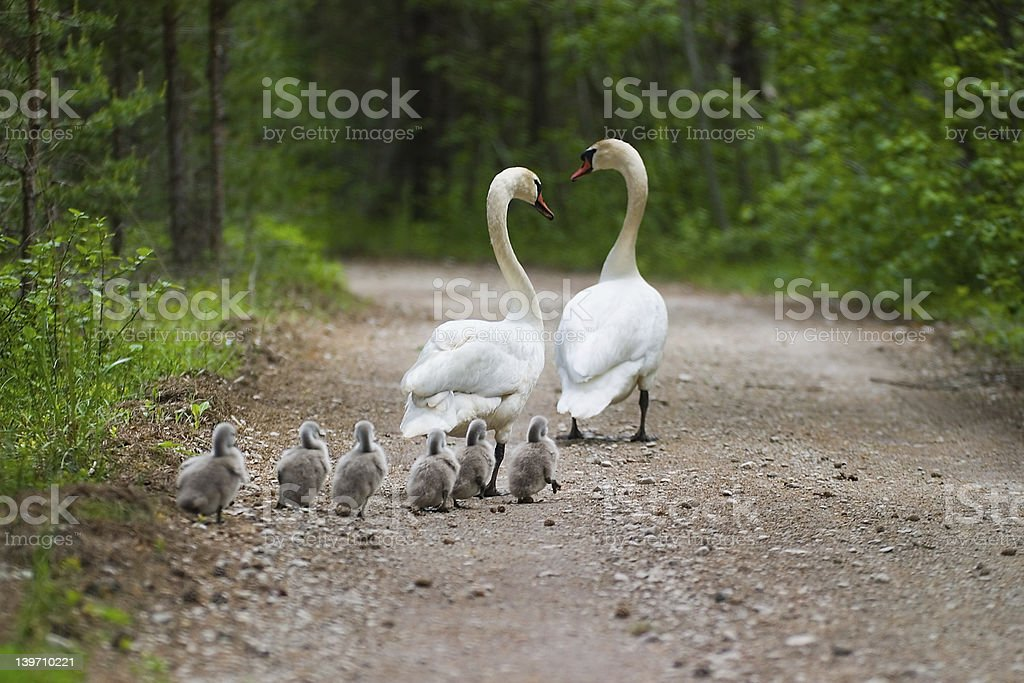 Swans family stock photo