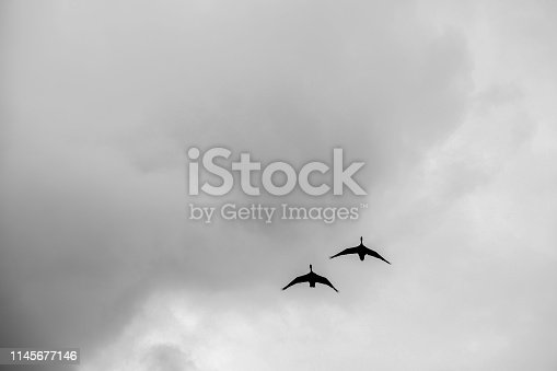 Swans flighing against a cloudy sky - copy space.