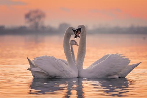 White swans floating on lake during sunset
