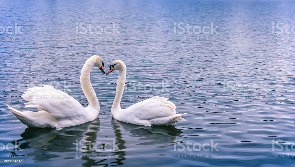 Swans forming a heart stock photo