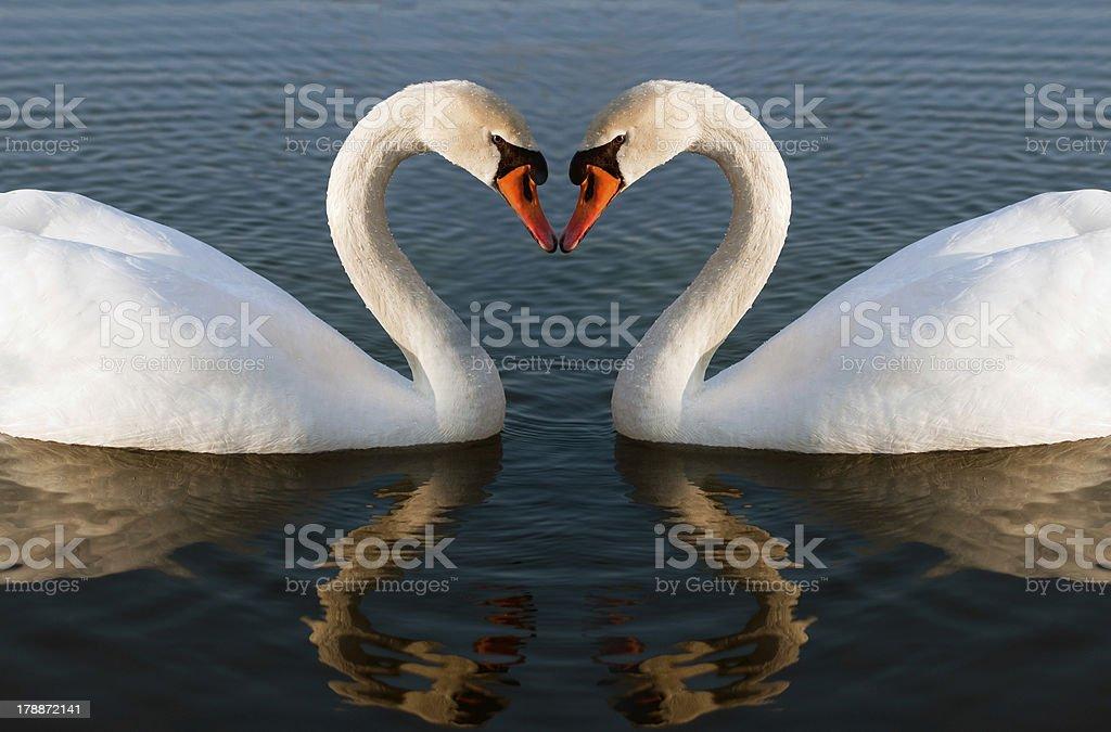 Swans cœur - Photo