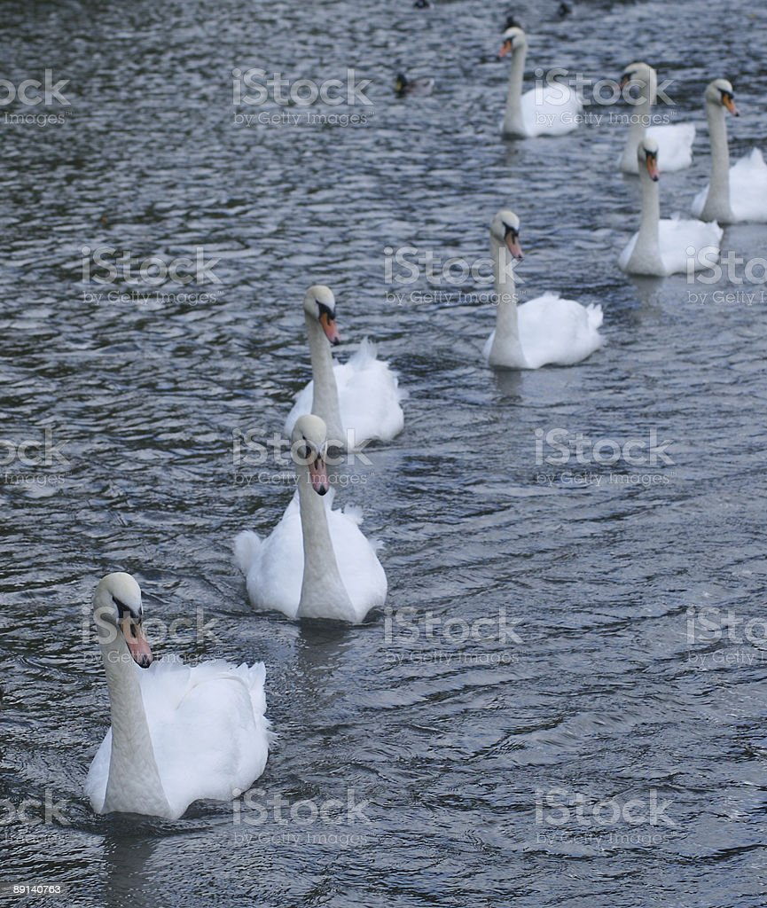 Swans in a line stock photo
