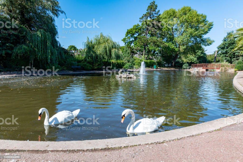 Swans in a pond in King's Garden in Torquay, Devon stock photo